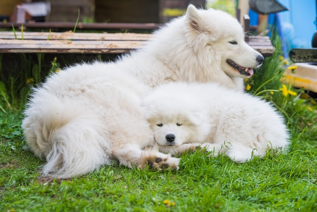 Samojeed puppy en moeder hond leggen slapen.
