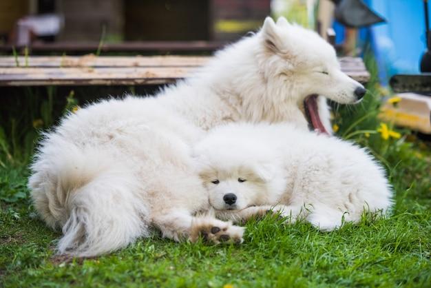 Samojeed puppy en moederhond liggen te slapen