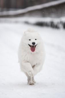 Samojeed witte hond met glimlach loopt op sneeuw buiten op winter achtergrond