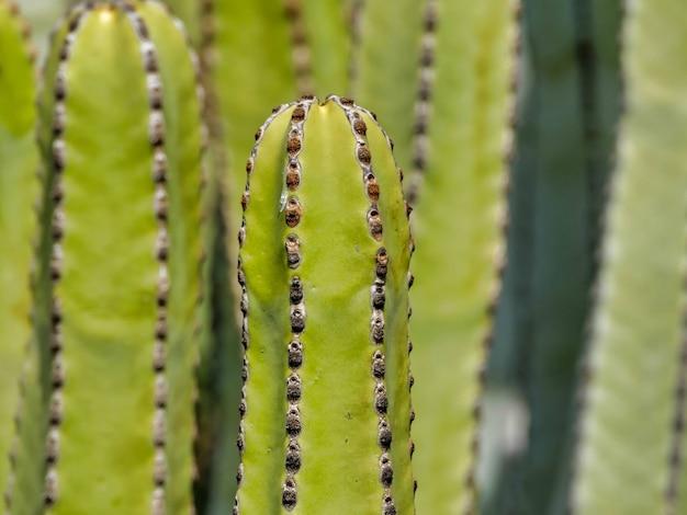 San pedro cactussen naast elkaar