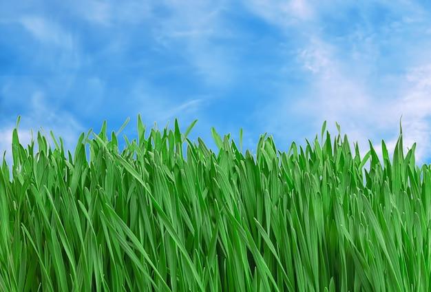 Sappig en groen jong gras tegen de achtergrond van een blauwe lucht.