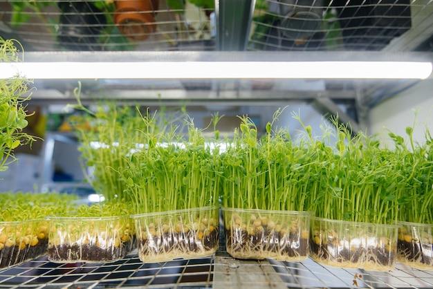 Sappige en jonge spruiten van microgreens in de kas. zaden kweken. gezond eten.