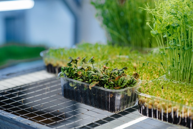 Sappige en jonge spruiten van microgreens in de kas