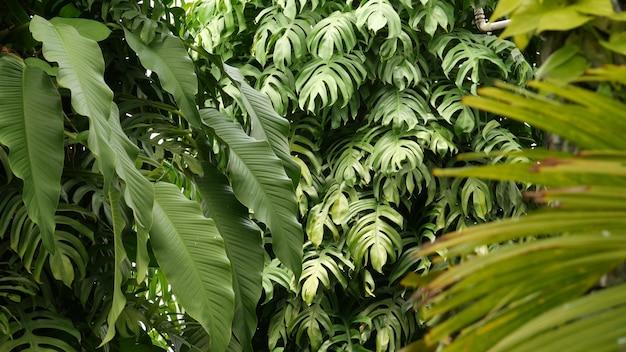 Sappige exotische tropische monstera verlaat textuur achtergrond, copyspace