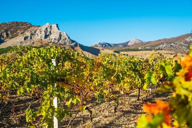 Sappige heldere mooie wijnstokstruiken in de wijngaard in de herfst op een zonnige dag