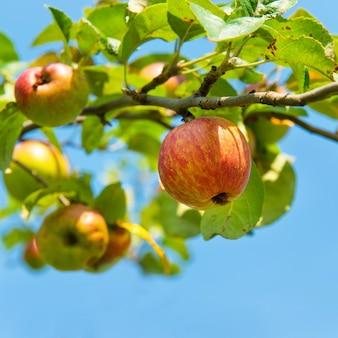 Sappige rode appels op de tak met blauwe hemel