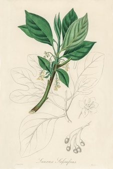 Sassafras (laurus sassafras) illustratie van medical botany (1836)