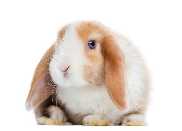 Satijn mini snoeit konijn onder ogen zien, kijkend naar de voorkant, geïsoleerd op wit