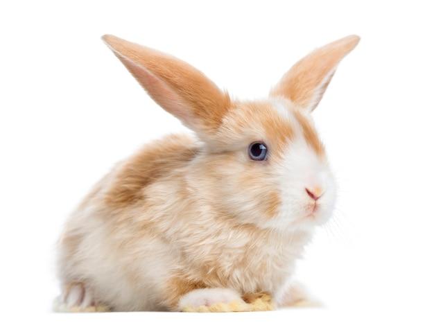 Satijn mini snoeit konijn oor omhoog, liggend, geïsoleerd op wit