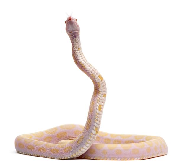 Scaleless corn snake, pantherophis guttatus, voor witte achtergrond