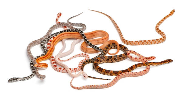 Scaleless corn snakes, pantherophis guttatus, voor witte achtergrond