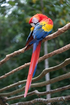 Scarlet macaw (ara macao) zitstokken op een houten hek, copan, copan ruinas, copan department, hondura