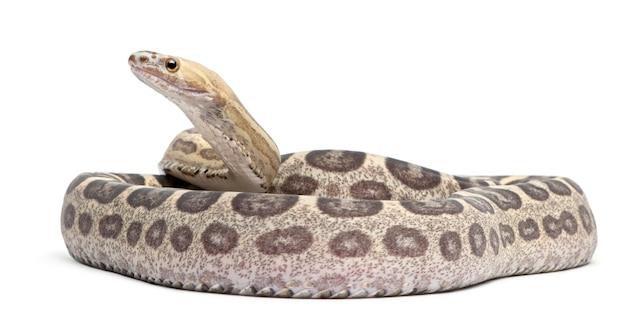Schaalloze corn snake