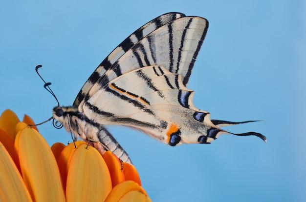 Schaarse zwaluwstaart (iphiclides podalirius) op een oranje bloem met een blauwe ruimte