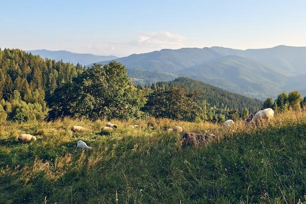 Schapen die gras op de bergen eten. bergen heuvels landschap tijdens een zonnige dag. locat reisconcept. eco-platteland.