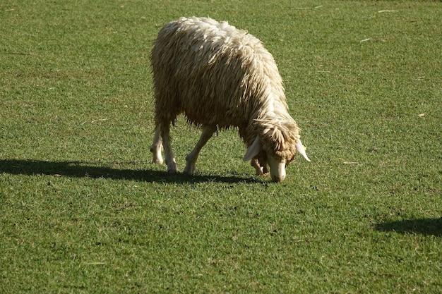 Schapen die gras op landbouwbedrijfgebied eten