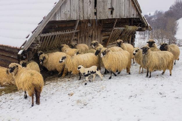 Schapen die overdag in besneeuwde staan