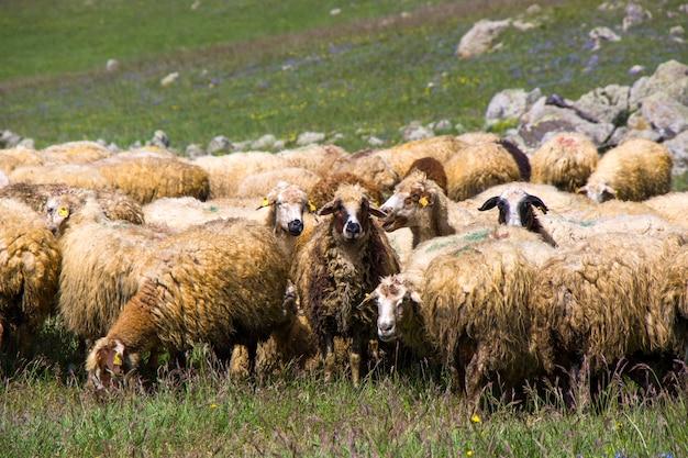 Schapen en geiten in de vallei. het leven van huisdieren. boerderij in de bergen. grote groep schapen.