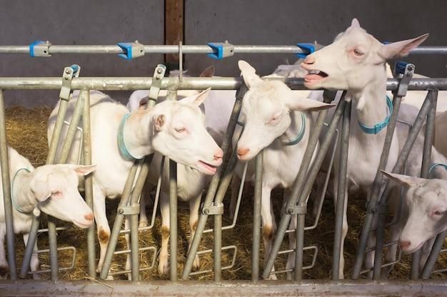 Schapen en mooie geiten in een boerderij