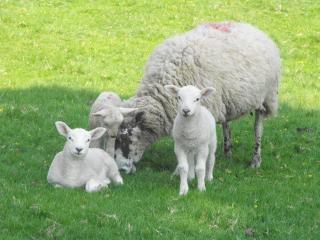 Schapen familie schaap