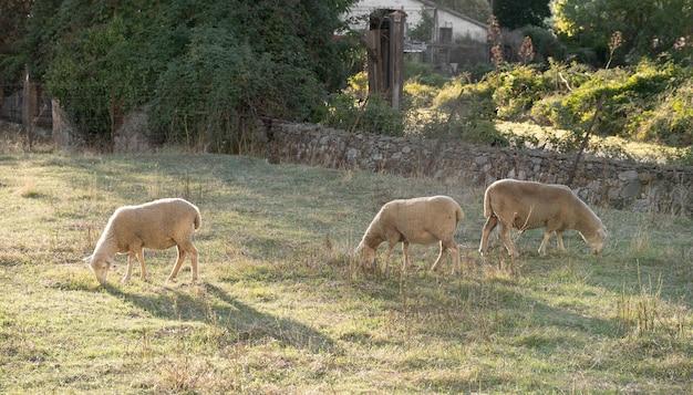 Schapen grazen in een weiland bij zonsondergang