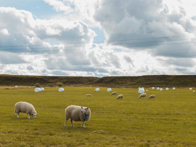 Schapen grazen in het groene veld in een landelijk gebied onder de bewolkte hemel