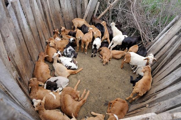Schapen in de masai-stam