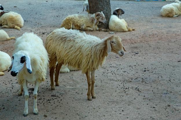 Schapen in de thaise boerderij