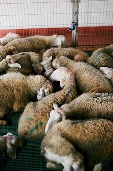 Schapen met vlekken op wol die op vloer in binnenlandbouwbedrijf rusten