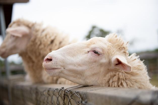 Schapen op de boerderij en heb medelijden ogen