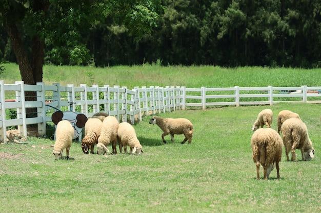 Schapen op de boerderij