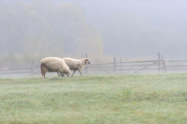 Schapen op een boerderij in de mist