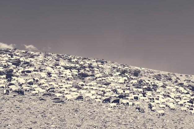 Schapen rotsachtig terrein heldere lucht