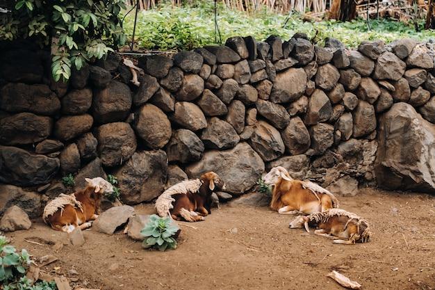 Schapen rusten meestal op het eiland tenerife. schapen op de canarische eilanden.