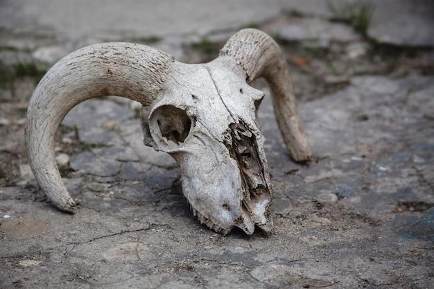 Schapen schedel op een gebarsten steen. dierlijke botten.