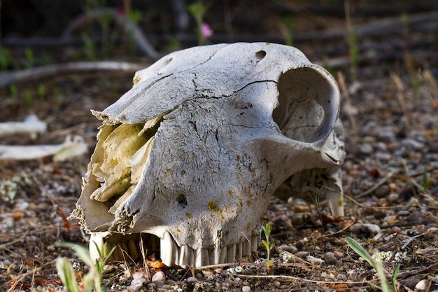 Schapen schedel