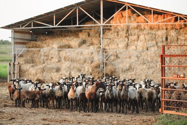 Schapenboerderij. groep schapen huisdieren. Premium Foto