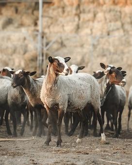 Schapenboerderij. groep schapen huisdieren.
