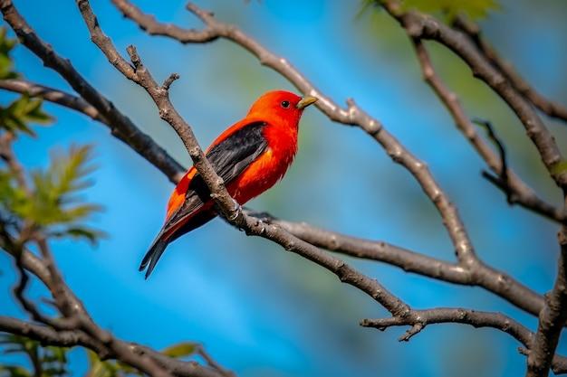Scharlaken tanager (piranga olivacea