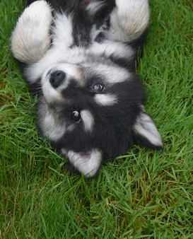 Schattig alsky puppy op zijn rug in groen gras.