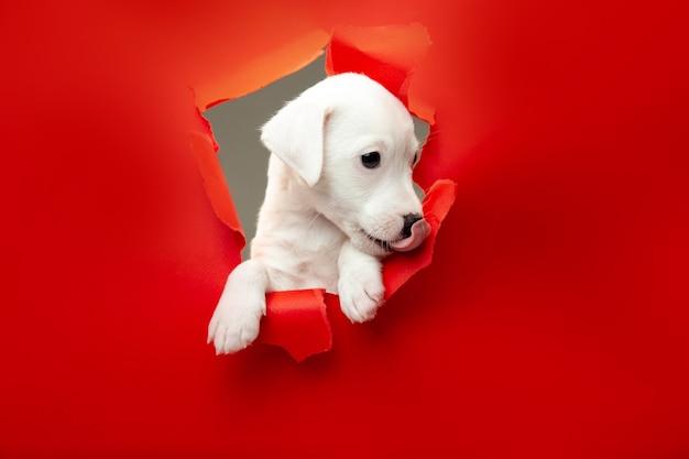 Schattig en klein hondje met doorbraak rode studio achtergrond doelgericht en geïnspireerd, attent. concept van beweging, actie, beweging, doelen, huisdieren liefde. ziet er blij uit, grappig. copyspace voor advertentie.