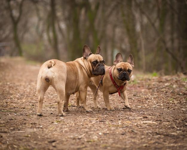 Schattig fawn gekleurde franse bulldog wandelen in het bos.