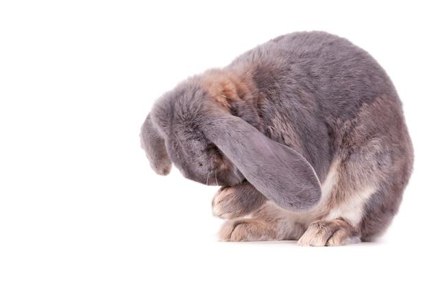 Schattig grijs en wit konijntje zit en houdt zijn neus in zijn handen op een wit oppervlak