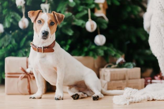 Schattig huisdier zit op de vloer in de buurt van versierde kerstboom, geschenkdozen, kijkt ergens in de verte.