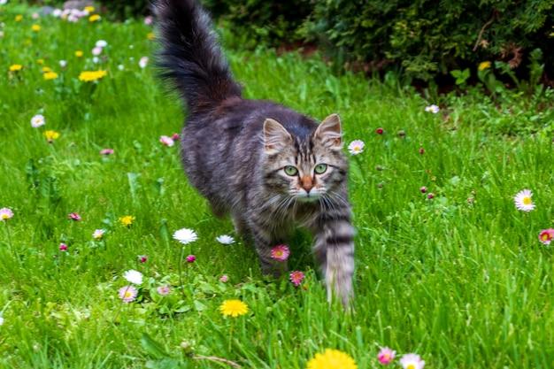 Schattig miauwend tabby kitten buiten op een bloemenveld