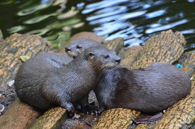 Schattig paar knuffelende rivierotters die samen op een logbrug zitten.