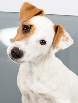 Schattig portret van jack russell terrier