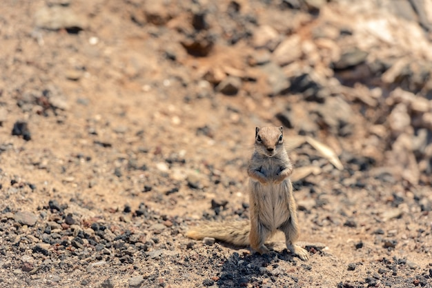 Schattige afrikaanse grondeekhoorn op staande op droge grond in fuerteventura, spanje.
