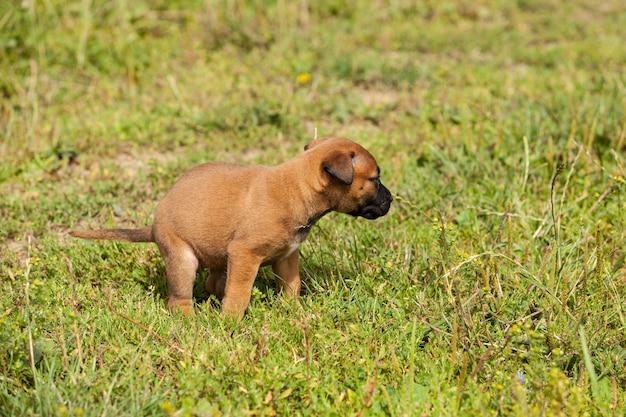 Schattige bastaard mechelaar puppy en bullmastiff poepen in het gras in de zomer