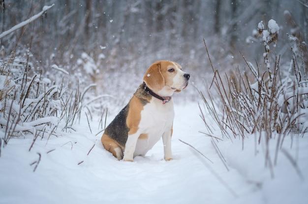 Schattige beagle hond op een wandeling in het park in de winter tijdens zware sneeuwval